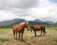 hästar kauai Royaltyfria Bilder