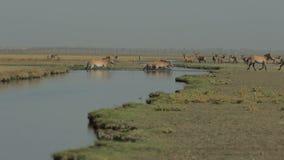Hästar korsar vattnet stock video