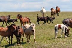 Hästar med föl, kor med kalvar betar på en sommaräng arkivbild