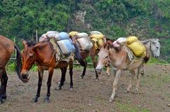 Hästar med hård börda nepal Arkivbilder