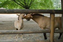 Hästar moder och son för Przewalski ` s fotografering för bildbyråer