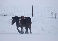 Hästar mot linda Royaltyfria Foton