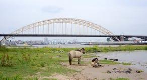 Hästar nära den Waalbrug bron, Nijmegen, Nederländerna Royaltyfri Bild