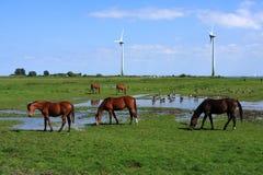 Hästar och änder i holländskt landskap Royaltyfri Foto