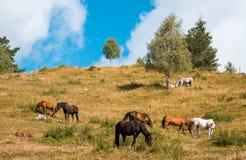 Hästar och betar Royaltyfria Bilder