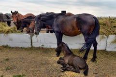Hästar och föl som äter hö arkivbilder