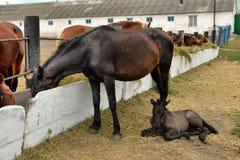 Hästar och föl som äter hö fotografering för bildbyråer