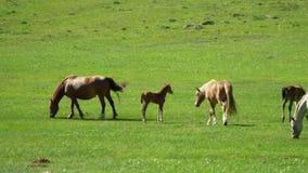 Hästar och hästar går på ett grönt gräs stora liggandebergberg arkivfilmer