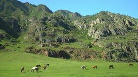 Hästar och hästar går på ett grönt gräs stora liggandebergberg lager videofilmer