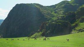Hästar och hästar går på ett grönt gräs stora liggandebergberg stock video