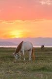 Hästar och härlig solnedgång royaltyfri bild