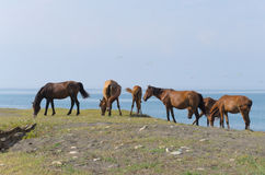 Hästar och havet Royaltyfri Fotografi