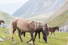Hästar och hingstföl Royaltyfri Bild