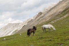 Hästar och hingstföl Arkivfoton