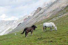 Hästar och hingstföl Fotografering för Bildbyråer