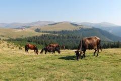 Hästar och kor Royaltyfria Bilder