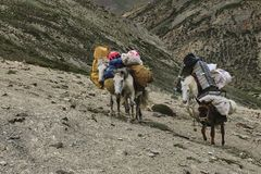 Hästar och mulor som bär tungt gods för att fukta den steniga lutningen i Himalaya berg, Ladakh, Indien royaltyfri bild