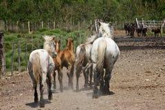 Hästar och tjurar arkivfoton