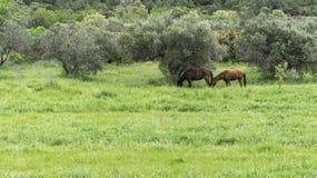 Hästar på ängen Arkivfoton