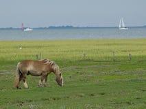 Hästar på ön av juisten Arkivfoton
