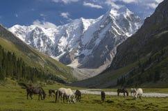 Hästar på bakgrunden av härliga berg Arkivbild