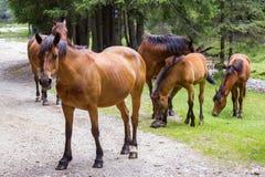 Hästar på betar Royaltyfri Bild