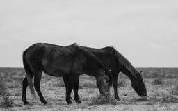 Hästar på den Kasakhstan stäppen Fotografering för Bildbyråer