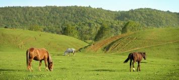 Hästar på en äng Arkivbilder