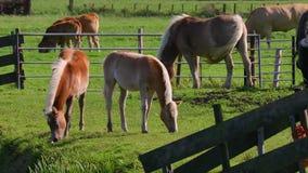 Hästar på en lantgård stock video