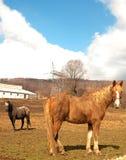 Hästar på en lantgård Arkivbild