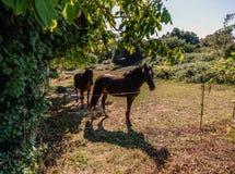 Hästar på en lantgård i Galicia Spanien inom ett staket royaltyfri fotografi