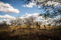 Hästar på en ofruktbar mark arkivfoto