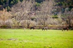 Hästar på en vår betar Royaltyfri Fotografi
