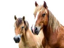 Hästar på en vit bakgrund Royaltyfria Bilder