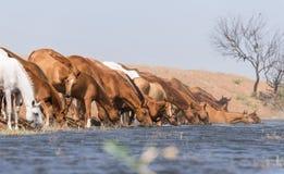 Hästar på ett brunnsortdrinkvatten och att bada under stark värme och torka royaltyfria foton