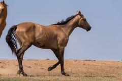 Hästar på ett brunnsortdrinkvatten och att bada under stark värme och torka arkivbilder