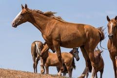 Hästar på ett brunnsortdrinkvatten och att bada under stark värme och torka arkivfoto