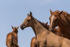 Hästar på ett brunnsortdrinkvatten och att bada under stark värme och torka royaltyfri fotografi
