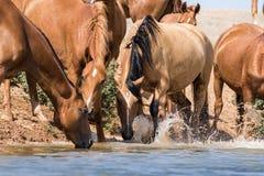 Hästar på ett brunnsortdrinkvatten och att bada under stark värme och torka arkivbild
