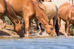 Hästar på ett brunnsortdrinkvatten och att bada under stark värme och torka royaltyfri foto