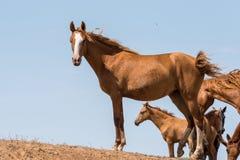 Hästar på ett brunnsortdrinkvatten och att bada under stark värme och torka royaltyfri bild