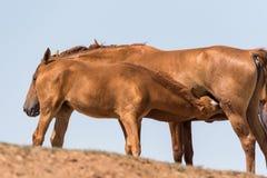 Hästar på ett brunnsortdrinkvatten och att bada under stark värme och torka arkivfoton