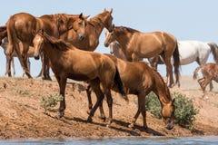 Hästar på ett brunnsortdrinkvatten och att bada under stark värme och torka royaltyfria bilder