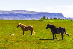 Hästar på ett grönt fält i Island sidosikt arkivfoton