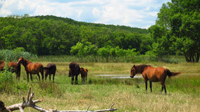 Hästar på flodbanker Veleka till staden Sinemorets lökformig Royaltyfri Foto