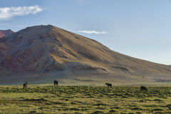 Hästar på gräsplan betar i berg Royaltyfri Foto