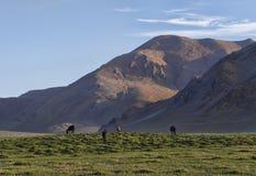 Hästar på gräsplan betar i Himalayas Arkivfoton