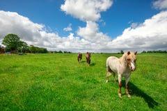 Hästar på gräsplan betar och blå himmel Royaltyfria Bilder