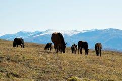 Hästar på grässlätten Arkivbilder