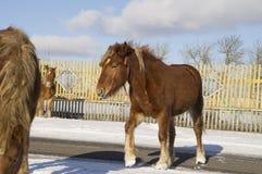 Hästar På klar härlig fölbrunt för solig dag går en färg asfaltvägen Royaltyfri Foto